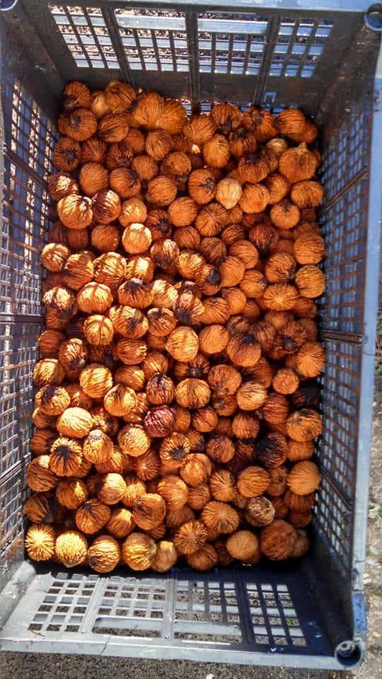 eastern walnuts